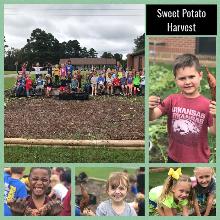 Sweet Potato Harvest (Whitaker and Marsh)