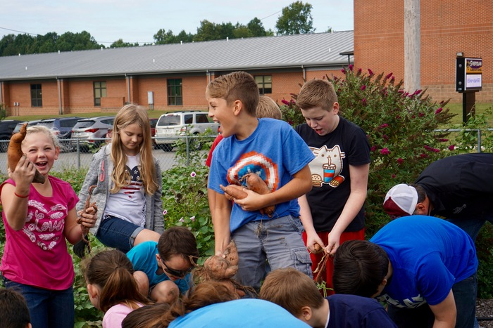 Students harvest sweet potatoes in school garden